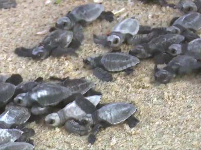 Video : Watch: Large Number Of Baby Turtles Released Into Sea In Tamil Nadu