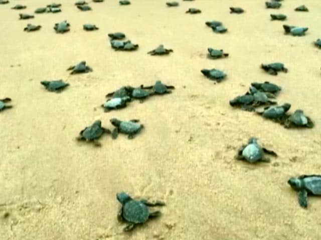 Video : Over 350 Baby Turtles Released Into Sea In Visakhapatnam