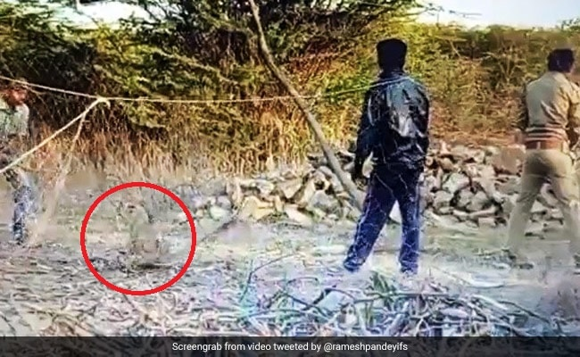 Gujarat Forest Staff Find Lion Cub In Net, Risk Their Lives To Save It. Watch