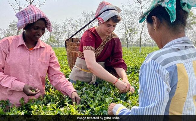 Priyanka Gandhi Vadra Tries Hand At Plucking Tea Leaves In Assam