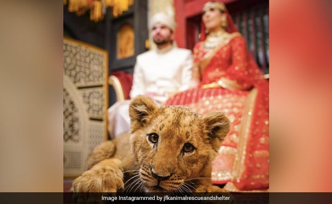 Pakistani Couple Faces Backlash For Using Sedated Lion Cub In Wedding Shoot