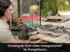 Two Alligators Enjoy Chin Scratches In This Jaw-Dropping Clip