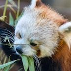 Red Panda Getting Treat From Puzzle Feeder Is Too Cute To Handle