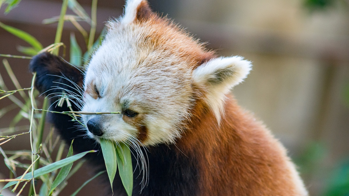 Watch: Red Panda Getting Treat From Puzzle Feeder Is Too Cute To Handle