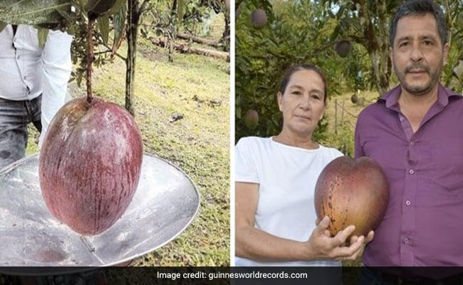 Colombian Farmers Enter Guinness Book For Growing World's Heaviest Mango