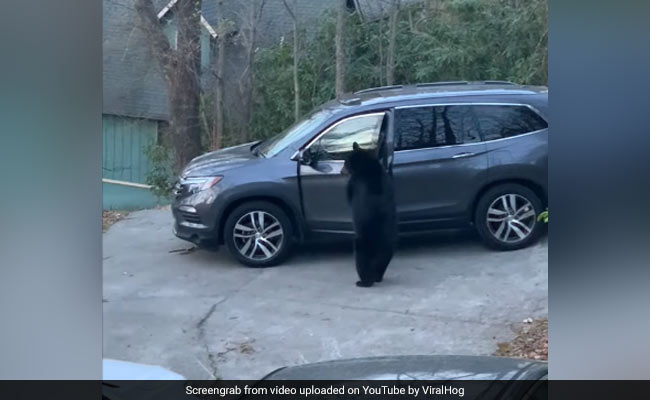 Watch: Bear Stands Upright, Opens Car Door To Steal Snacks
