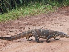 Giant Lizard Creates Chaos At Supermarket