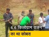 Video : ओडिशा : कटक में बचाया गया 14 फुट लंबे किंग कोबरा