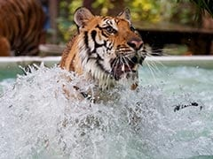At This Zoo, Tigers Get Chicken Ice Pops To Beat The Heat