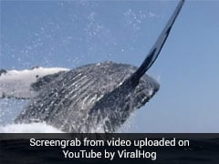 Watch: Humpback Whale Almost Lands On Couple Swimming To Boat
