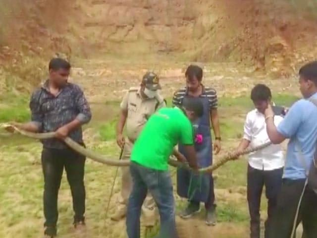 Video : Watch: 14-Feet-Long King Cobra Rescued In Odisha