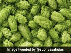 Hop Shoots, A Vegetable Grown By Bihar Farmer Cooks Up A Storm. Know Why