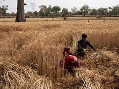 Wheat Purchase Price Up By 2%, Lowest In A Decade, Amid Farmers' Protest