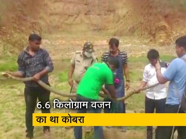 Videos : ओडिशा : कटक में बचाया गया 14 फुट लंबे किंग कोबरा