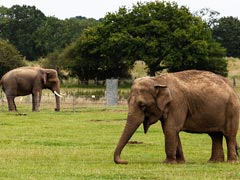 Elephants On Tour In China Guzzled Crops, Caused Losses In Millions