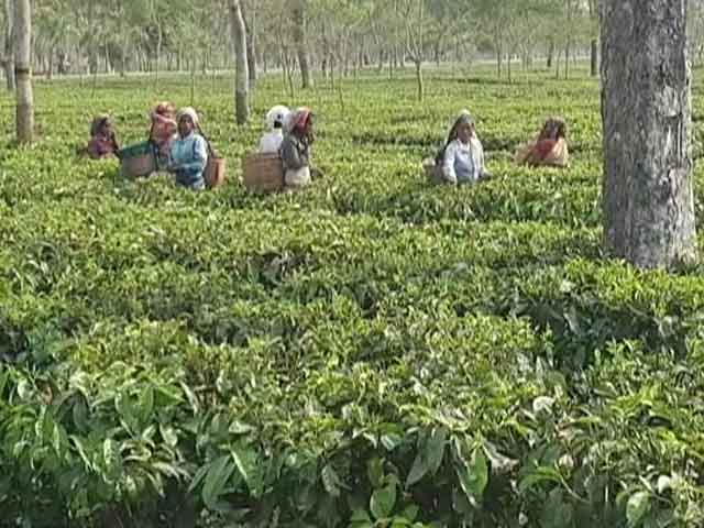 Video : Hit Hard In 2nd Covid Wave, 1% Of Assam Tea Workers Have Got Both Jabs