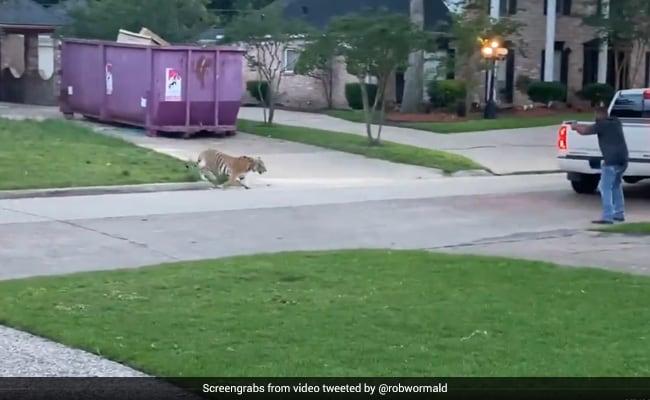 Bengal Tiger Seen Roaming In Texas Neighbourhood, 'Owner' Arrested