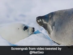 Mother's Day: A Kiss Is How A Seal Mom, Pup Recognize Each Other. See Here
