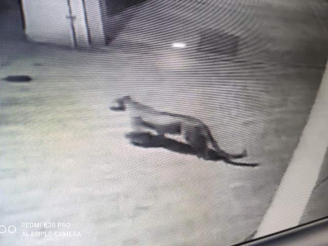Video : Watch: Leopard Enters Housing Society In Mumbai's Aarey Colony