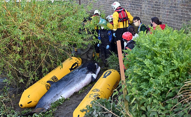 Young Whale Stranded In London's Thames Is Put Down