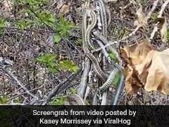 """This Video Of A """"Snake Ball"""" Is Not For The Faint-Hearted"""
