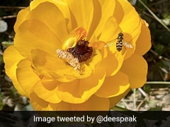 Watch: On World Bee Day, Twitter Abuzz With Amazing Bee Pics, Videos