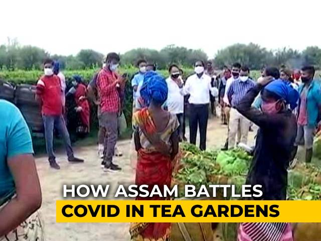 Video : Assam Tea Estates See Over 300% Spike In Covid Cases In Last 10 Days