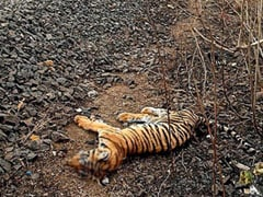 """Tiger Cub Hit By Train, """"May Have Gotten Stuck On Tracks"""", Says Madhya Pradesh Official"""