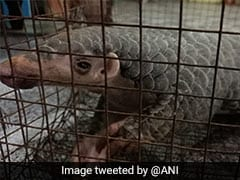 Three Arrested With Live Pangolin, Scales In West Bengal