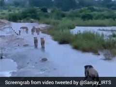 Truth Behind Viral Video Claiming To Show Lions Of Gir After Cyclone Tauktae