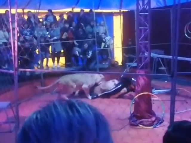 Video : Video: Circus Trainer Gets Mauled By Lioness In Terrifying Footage