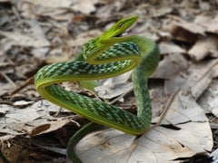 "Researchers Find 2 New Multi Drug-Resistant Bacteria In Scat Of ""Vine Snake"""