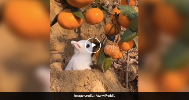 Bunny Loads Up On Vitamin C: Reddit Users Upvote Video Of Rabbit Eating Oranges