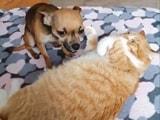 Video : बिल्ली को अधिक दुलार करने पर कुढ़ने वाले नन्हे कुत्ते का वीडियो वायरल