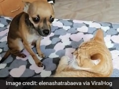 Watch: Jealous Dog Isn't Too Happy About Cat Getting Attention