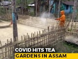 Video : Over 200 Covid Positive In 2 Assam Tea Gardens, Now A Containment Zone