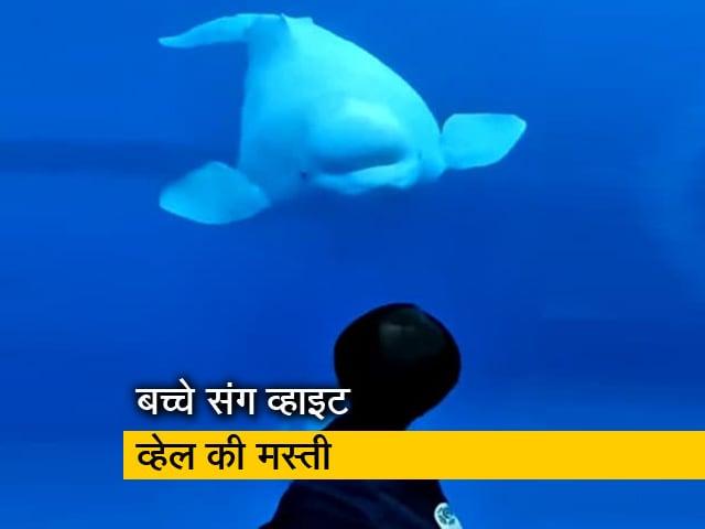 Videos : Watch: जब एक बच्चे को देख हाय-हेलो करने लगी बेलुगा व्हेल