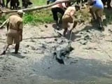 Video : Crocodile Rescued By Forest Officials In West Bengal