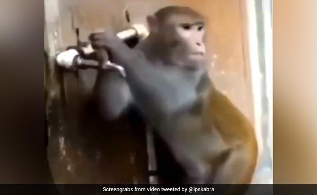 Monkey Drink Water And Closed The Tap Teaching-us-water-conservation-lesson See Viral Video – बंदर ने पानी पीकर बुझाई प्यास, फिर बंद कर दिया नल, IPS बोला- 'इंसानों को लेनी चाहिए सीख'
