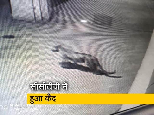 Video : मुंबई की एक हाउसिंग सोसायटी में चहलकदमी करता दिखा तेंदुआ
