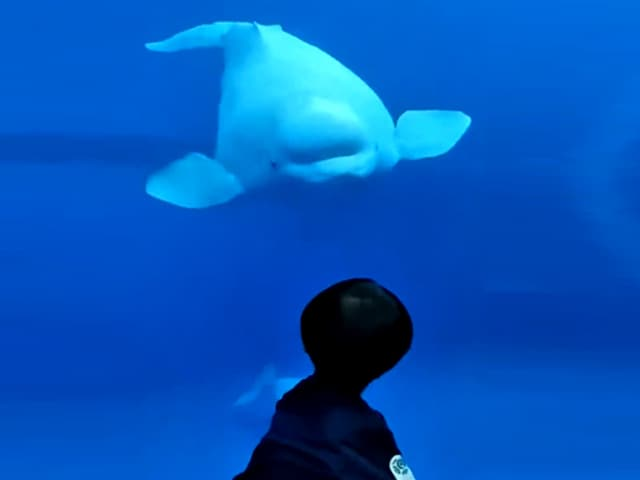 Video : Watch: Beluga Whale Comes To Say Hello