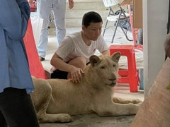 Pet Lion Of Chinese Owner Confiscated In Cambodia
