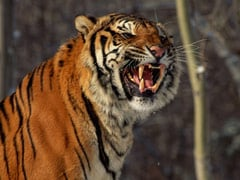 Siberian Tiger Kills Worker At South African Game Park