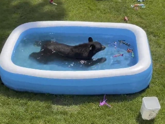 Video : Watch: Family Finds Bear Chilling In Their Kiddie Pool, Playing With Toys