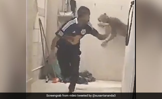 Watch: Big Cat Chases Man Down A Corridor In Terrifying Video