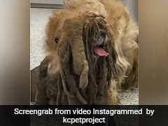 Watch: A Stray Dog's Transformation After Vets Shave Off 3 Kg Of Matted Fur