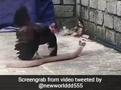 Watch: Mother Hen Battles A Snake To Protect Her Chicks
