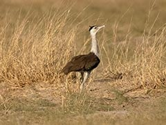 The Great Indian Bustard And India's Renewable Energy Challenge