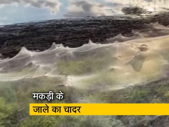 Video : आस्ट्रेलिया में बिछा मकड़ी के जाले का विशाल चादर, सोशल मीडिया पर वीडियो वायरल