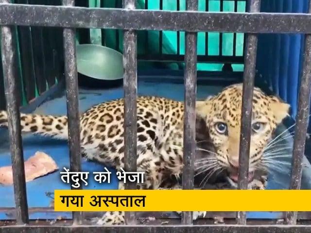 Videos : महाराष्ट्र: वन विभाग के अधिकारियों ने घायल तेंदुए को बचाया